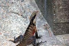 Dragon d'eau Photographie stock libre de droits