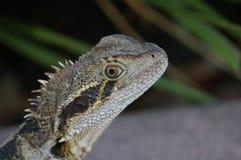 Dragon d'eau australien image stock