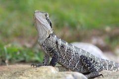 Dragon d'eau australien (lesueurii de Physignathus) Photographie stock