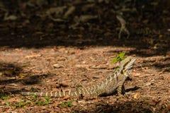 Dragon d'eau australien se dorant sur les feuilles sèches Images stock