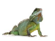 Dragon d'eau indien - cocincinus de Physignathus Photographie stock libre de droits