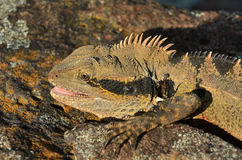 Dragon d'eau oriental australien Images libres de droits