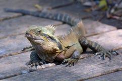 Dragon d'eau oriental australien Photographie stock libre de droits