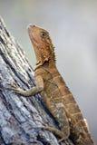 Dragon d'eau oriental australien Photos libres de droits