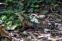 Dragon d'eau oriental australien Image libre de droits