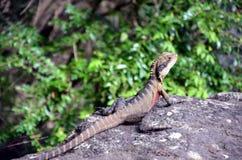 Dragon d'eau oriental australien Image stock