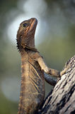Dragon d'eau oriental australien dans le profil Photos stock