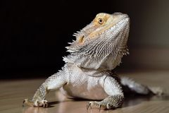 Dragon de barbe photos libres de droits