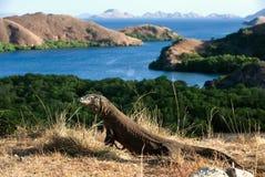 Dragon de Comodo. Photo libre de droits