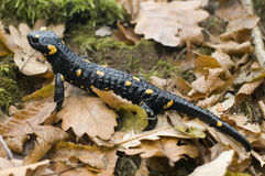 Dragon de forêt noire images stock