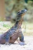 Dragon de Komodo à la terre images stock