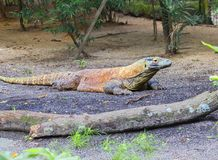 Dragon de Komodo Photo libre de droits