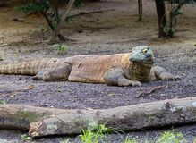 Dragon de Komodo Images libres de droits