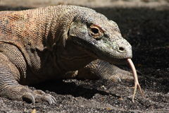 Dragon de Komodo Photographie stock