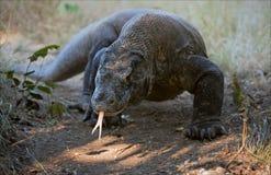 Dragon de Komodo. Image stock