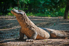 Dragon de Komodo Photos stock