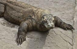 Dragon de Komodo Photos stock