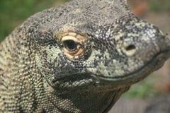 Dragon de Komodo photographie stock