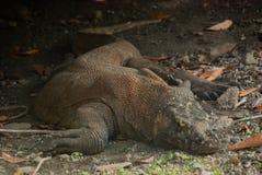 Dragon de Komodo Photo stock