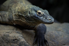 Dragon de Komodo Photo stock
