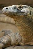 Dragon de Komodo Photo libre de droits
