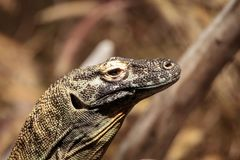 Dragon de Komodo, komodoensis de Varanus photos stock