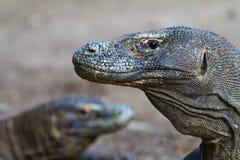 Dragon de Komodo vigilant Image libre de droits