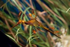 Dragon de mer photos stock