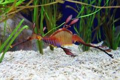 Dragon de mer Photographie stock libre de droits