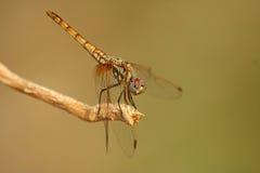 Dragon de repos Photo libre de droits