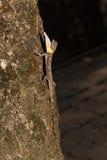 Dragon de vol repéré ou lézard de vol Orange-à ailes avec gular photo libre de droits