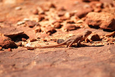 Dragon Earless (cephalus de Tympanocryptis) photos stock
