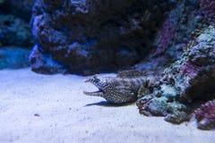 Dragon Eel royaltyfria bilder