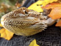 Dragon Enjoying Fall royaltyfri foto