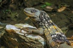 Dragon exotique de lézard détendant au soleil sur une roche Photo stock