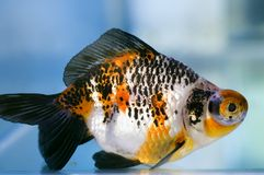 Dragon Eye fantail Goldfish Royalty Free Stock Photos