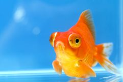 Dragon Eye Goldfish with blue Stock Images