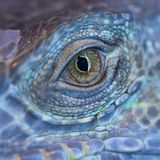 A dragon eye. A monster reptile eye. Blue colorful skin of iguana and a big open eye with black pupil stock photography