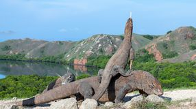 Dragon on the dragon. A female dragon climbed on top of the larger male. Komodo dragon,  scientific name: Varanus komodoensis. Scenic view on the background stock photo
