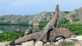 Dragon on the dragon. A female dragon climbed on top of the larger male. Komodo dragon,  scientific name: Varanus komodoensis. Scenic view on the background royalty free stock image