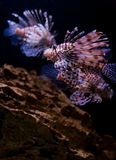 Dragon fish Stock Images