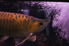 Dragon fish. In the water dispenser stock images