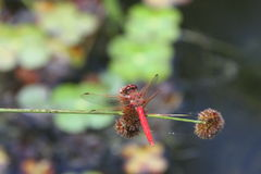 Free Dragon Flies In The Wild Royalty Free Stock Images - 94202729