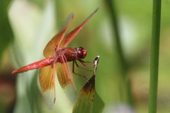 Free Dragon Flies In The Wild Royalty Free Stock Photography - 94202787