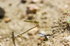 Dragon Flies of India. Brown Dragonfly Royalty Free Stock Images