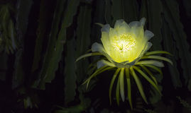 Dragon flowers shine at night Stock Photo
