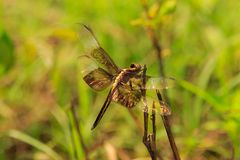 Dragon Fly Royaltyfria Bilder