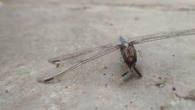 Dragon Fly Lizenzfreies Stockbild
