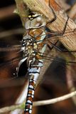 Dragon Fly Royalty Free Stock Image