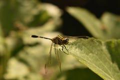 Dragon Fly royaltyfri fotografi